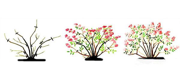 Следует безжалостно избавляться от слабых ветвей на всех этапах жизненного цикла растения