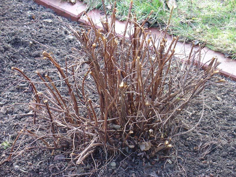 Чтобы омолодить куст, срезаются абсолютно все побеги до уровня почвы