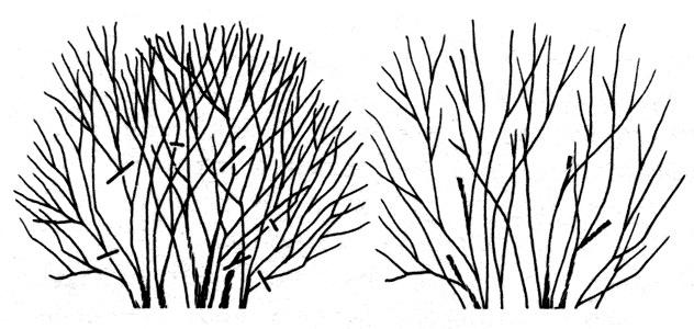 Осенняя обрезка живой изгороди намного предпочтительнее весенней