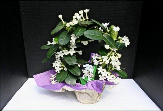 Стефанотис известен в домашнем цветоводстве уже более двух столетий