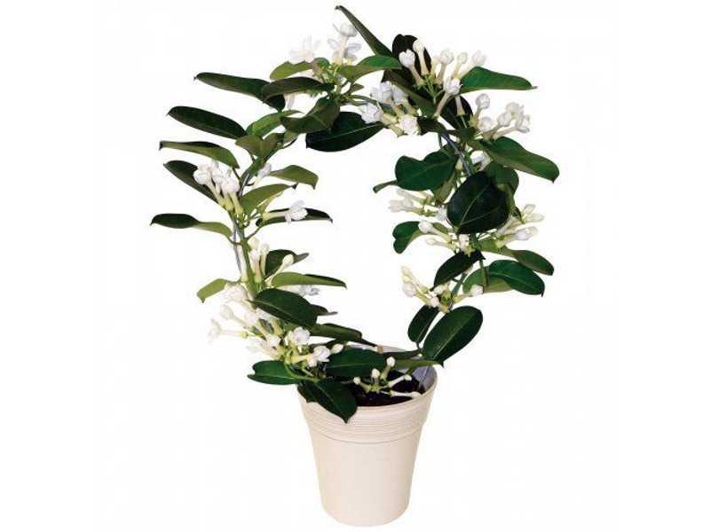 Главная ценность стефанотиса – белоснежные, душистые цветы