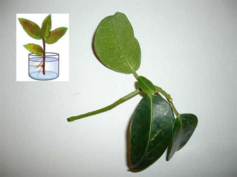 Способ размножения черенками стефанотиса сохраняет все видовые качества материнского растения