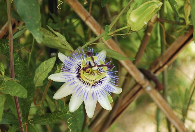 Страстоцвет (пассифлора) полезные и лечебные свойства, противопоказания, применение экстракта,