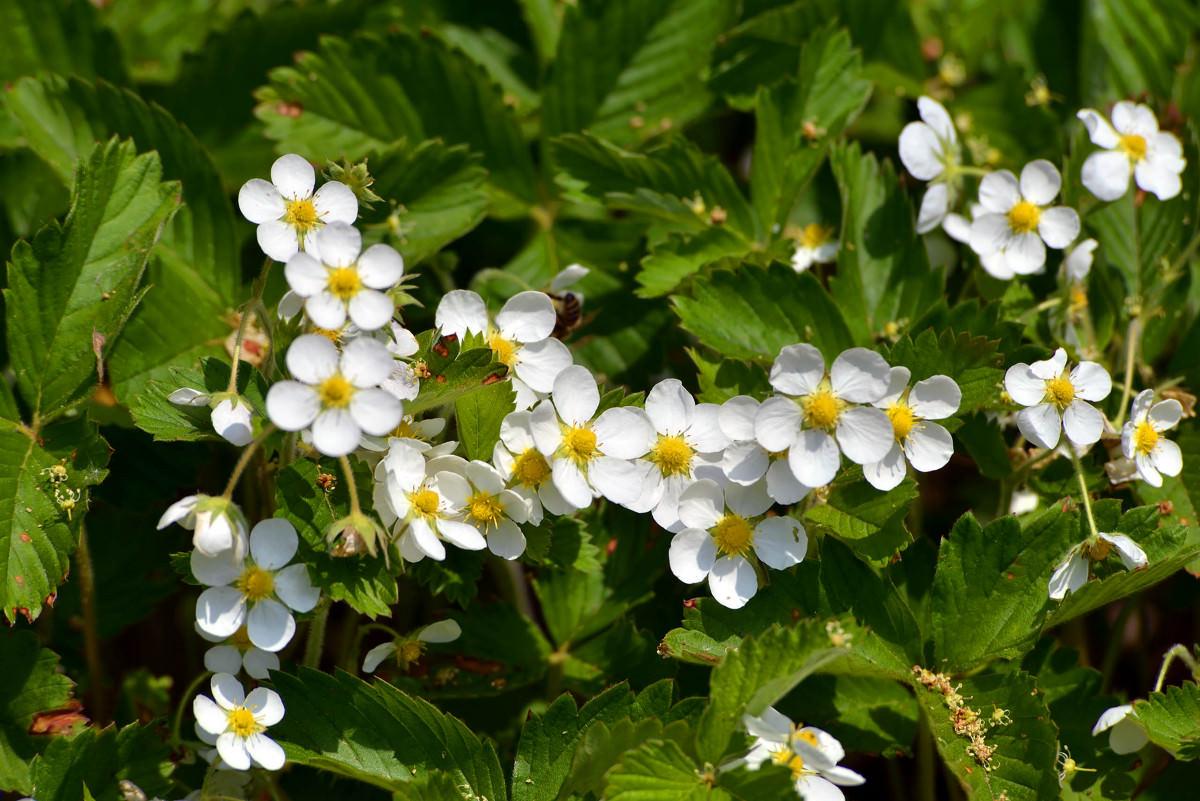 Цветение земляники лесной проходит с середины весны до середины лета