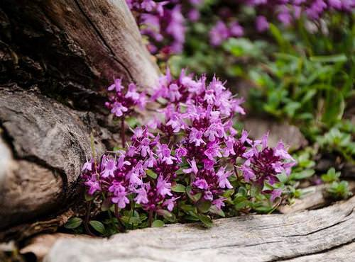 Тимьян – это лекарственное растение, широко признанное официальной медициной