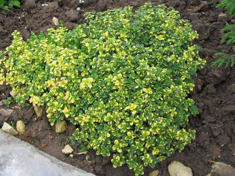 Тимьян лимонный (T. citriodorus)