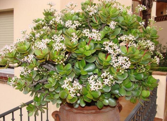 Комнатный цветок крассула – растение неприхотливое, но получить цветение можно только при выполнении некоторых правил выращивания
