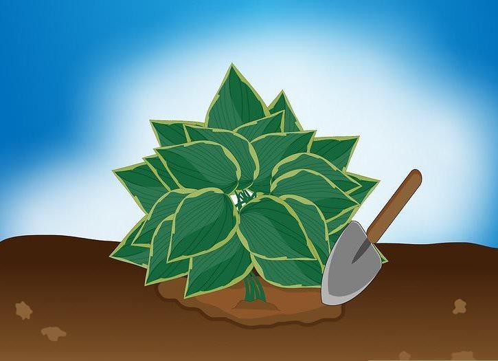 Если холода уже наступили, а хоста не обрезана, то почву вокруг куста желательно тщательно перекопать