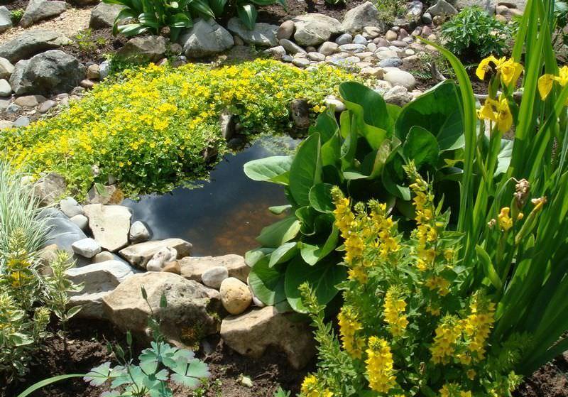 Вербейник – это отличный вариант для озеленения участка, который заслуженно приобрёл популярность среди садоводов