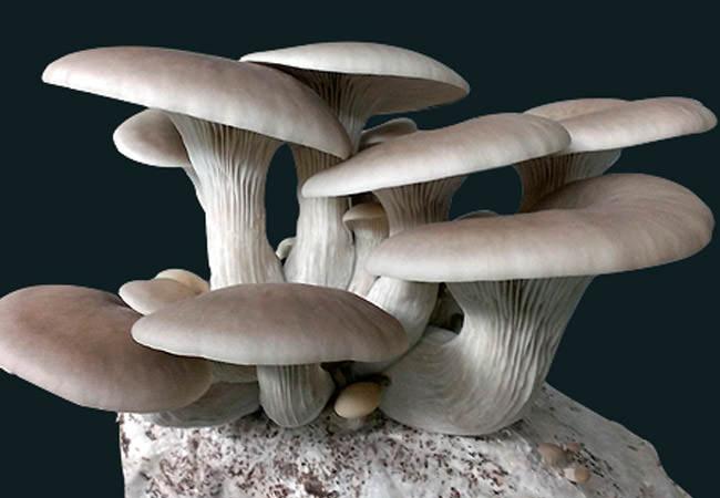 Вешенка — чрезвычайно полезный для организма человека гриб