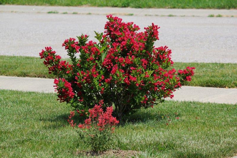Для более пышного и продолжительного цветения в первой декаде лета рекомендуется вносить калийно-фосфорные удобрения