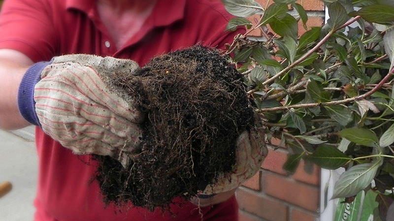 Лучше всего приживается декоративный кустарник, высаживаемый весной, в период от прогрева грунта до набухания почек