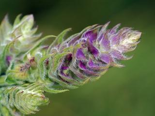 Шалфей известен всем как лекарственное растение