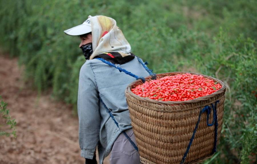 Сбор зрелых ягод годжи происходит в солнечную погоду, чтобы продукт не был влажным