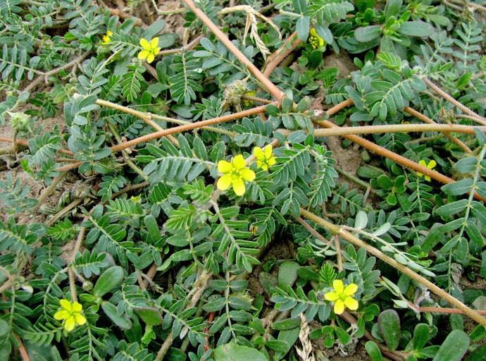 Якорник – растение с прямыми и тонкими корнями, устилающими почву