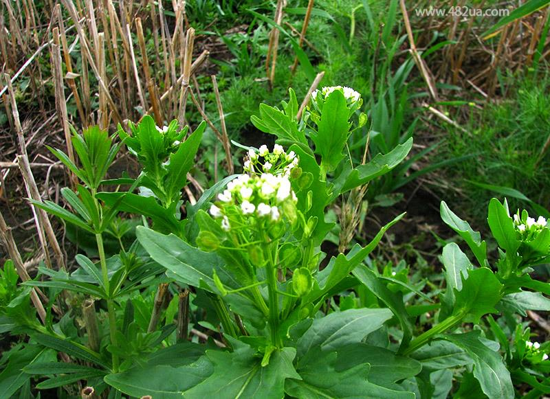 Ярутка полевая – это однолетнее растение, принадлежащее к семейству Капустных