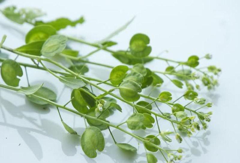 Побочные эффекты при приеме ярутки полевой появляются редко