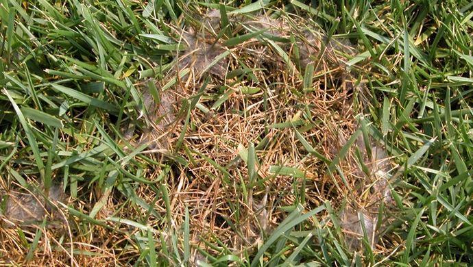 Наличие значительного количества бурого сухого травостоя свидетельствует об отсутствии скашивания при подготовке к зиме