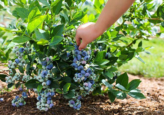 Голубика садовая – ягода, нуждающаяся в правильном уходе