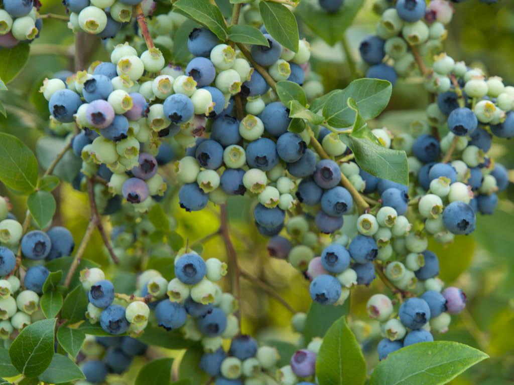 Голубика находит широкое применение в качестве привлекательного декоративного растения