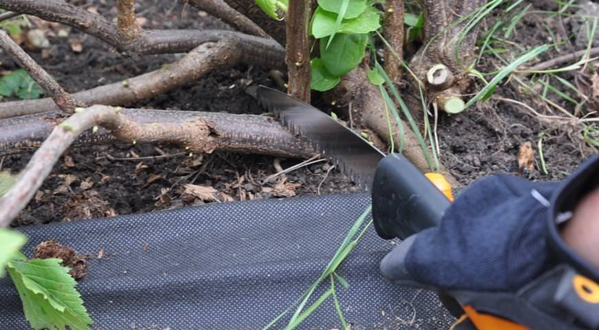 Молодым кустарникам требуется процедура прореживания, при которой вырезаются все тонкие и располагающиеся близко к грунту ветви