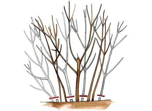 Уход за сиренью осенью виды и правила обрезки для начинающих, внесение подкормок, сроки и