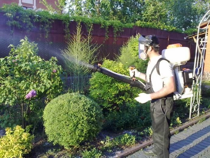 Обработка растений производится Зеленым мылом не более трёх раз с недельным интервалом
