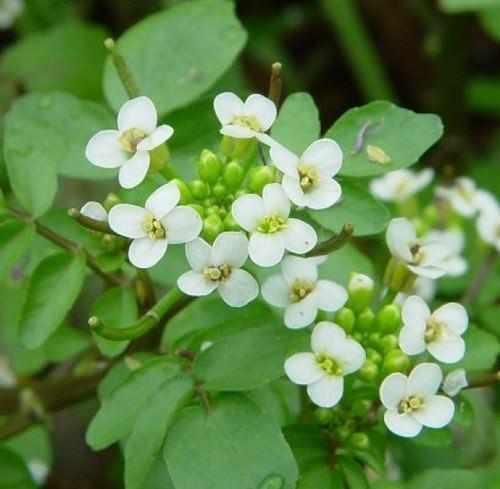 Жеруха обыкновенная получила широкое распространение в качестве листовой овощной культуры