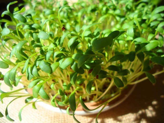Выращивается водяной кресс-салат с лекарственными целями