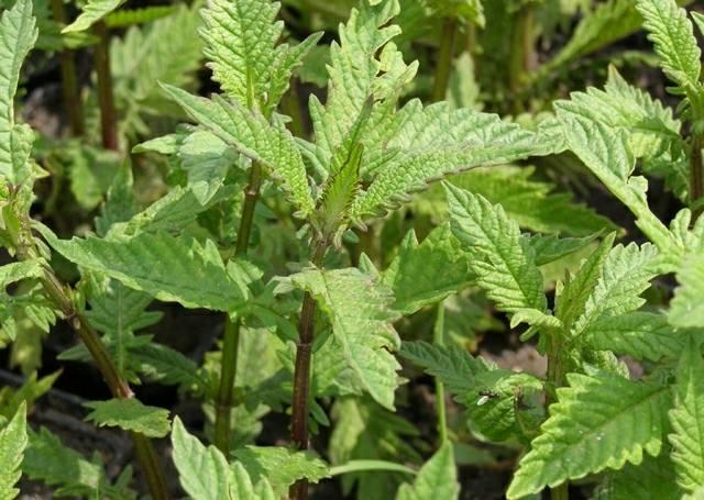 Зюзник европейский — трава, относящаяся к типовому виду из рода Зюзник и семейства Яснотковые
