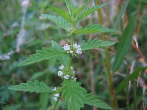 Зюзник широко известен среди лекарственных трав