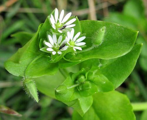Звездчатка – цветочное растение из семейства гвоздик