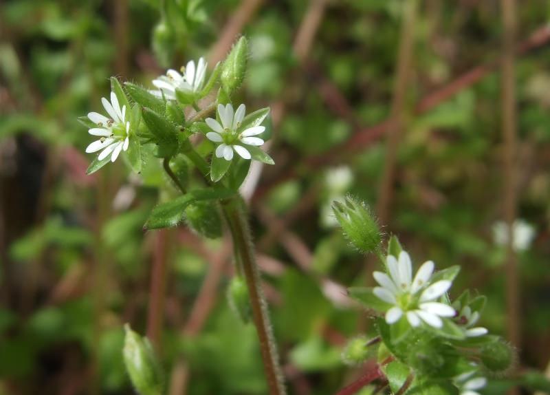 Звездчатка может быть многолетним и однолетним растением
