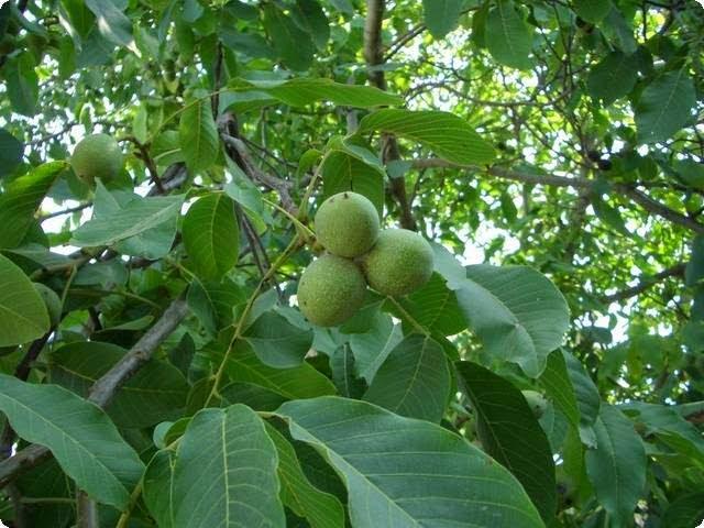 В листьях содержится большая концентрация витамина С