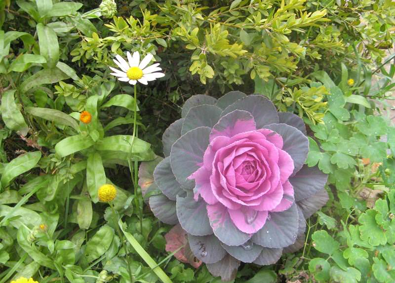 Декоративная капуста: выращивание и уход
