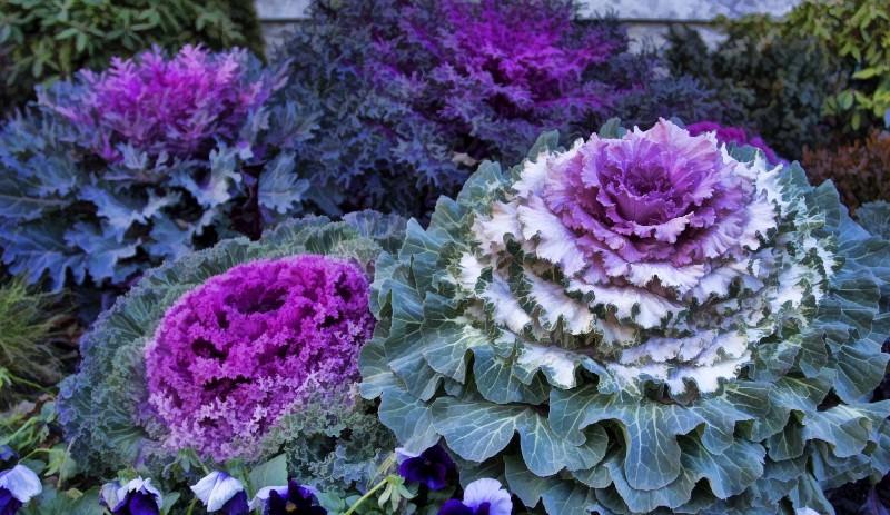 Выращивание декоративной капусты (60 фото): сорта, размножение, посадка рассады, семена, уход, полив, подкормка, болезни и вредители