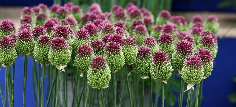 Декоративный лук: оригинальное украшение цветника