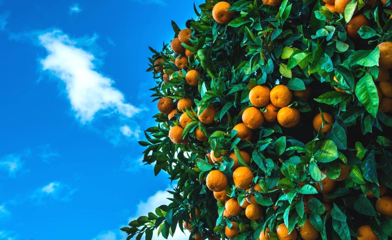 Купив пару спелых фруктов, несложно выбрать 5-7 косточек, которые перед посадкой стоит замочить на несколько дней