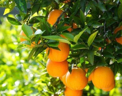 Среди многообразия цитрусовых растений есть вечнозеленое, красивое, издающее приятный аромат мандариновое дерево