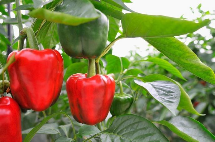 Особую популярность в условиях приусадебного овощеводства на территории Урала в последнее время приобретает толстостенный и сочный болгарский перец
