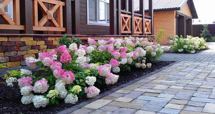 Гортензии широко используются при создании низкорослых групповых посадок, для оформления бордюров и декорирования оград
