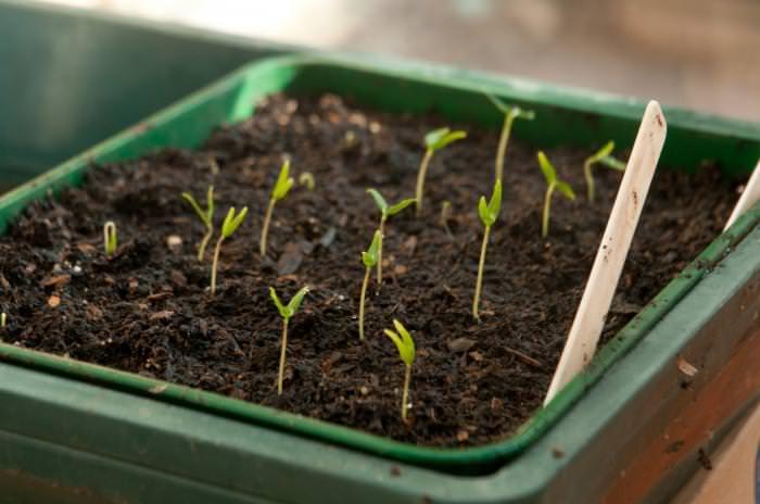 Через 7-10 дней начнут появляться первые ростки