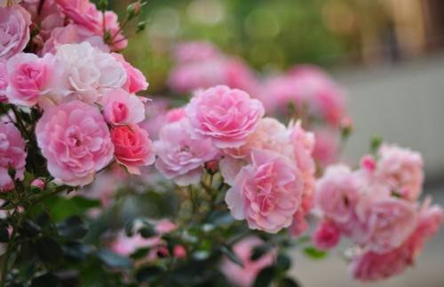 Розы в Подмосковье и соседних областях выращивать не слишком сложно