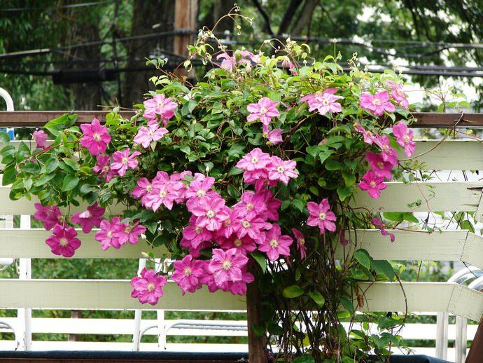 У клематисов цветение продолжается 3 – 4 месяца