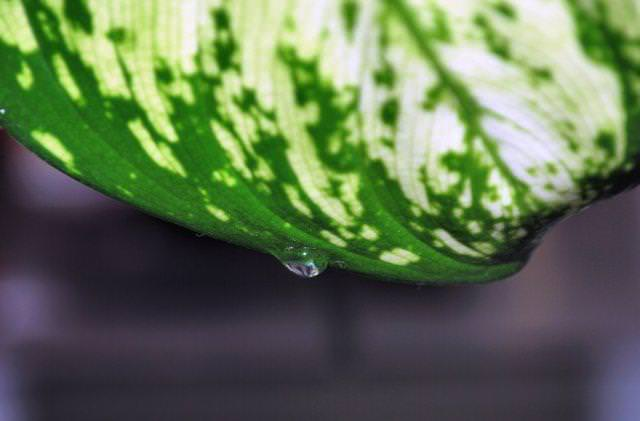 Гуттация заключается в выделении листьями растения капельной жидкости с целью освобождения от избыточного количества воды и различных минеральных солей