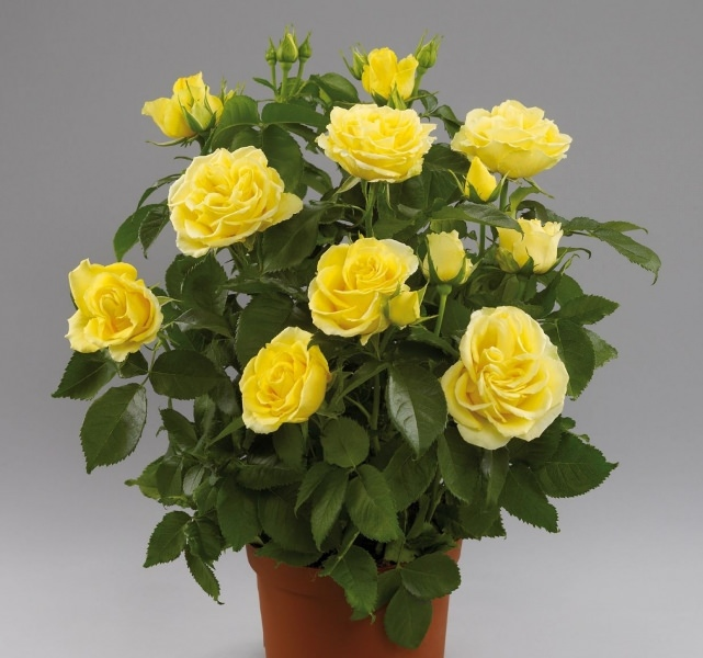 Комнатные кустовые розы в горшках: особенности ухода в домашних условиях