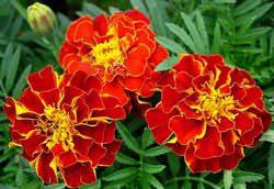 Бархатцы — привычные для всех обитатели клумб и цветников