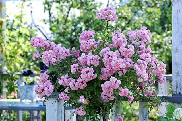Миниатюрный штамб чаще всего служит основой для миниатюрных и компактных почвопокровных роз