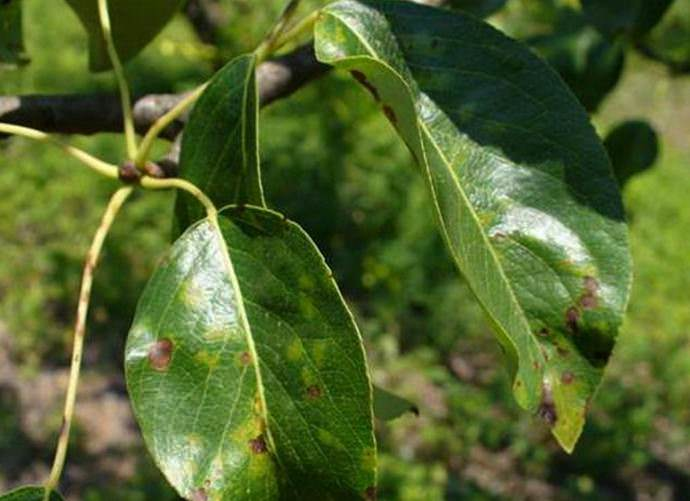 Первыми признаками поражения паршой служат появления на только что распустившихся листочках мелких светло-зеленых, маслянистых, просвечивающихся возле жилок пятен