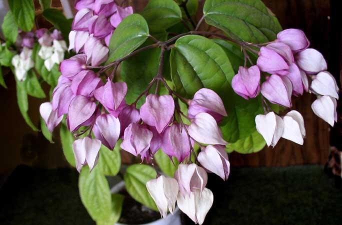 При соблюдении всех правил ухода клеродендрум Томпсона обильно цветёт с весны до осени